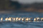 Sanderlinge (Calidris alba), Dez 2020 MV/GER, Bild 66