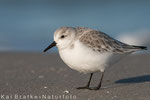 Sanderling SK (Calidris alba), Jan 2015 MV/GER, Bild 10