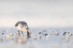 Sanderling (Calidris alba), Okt 2019 MV/GER, Bild 65