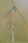 Große Pechlibelle Paarungsrad (Ischnura elegans), Juli 2015 MV/GER, Bild 3
