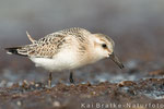 Sanderling 1. KJ (Calidris alba), Aug 2015 MV/GER, Bild 12