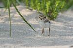 Sandregenpfeifer Pullus (Charadrius hiaticula), Juli 2014 MV/GER, Bild 8