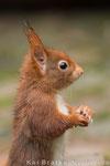 Eichhörnchen (Sciurus vulgaris), Dez 2013 Nds/GER, Bild 3