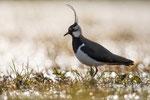 Kiebitz (Vanellus vanellus), Mai 2020 Nds/GER, Bild 18