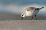 Sanderling SK (Calidris alba), Jan 2015 MV/GER, Bild 9
