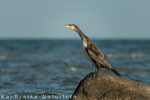 Kormoran (Phalacrocorax carbo), Sep 2014 MV/GER, Bild 1