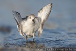 Sanderlinge SK (Calidris alba), Jan 2016 MV/GER, Bild 23