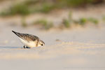 Sanderling (Calidris alba), Sept 2020 MV/GER, Bild 73
