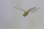 Glänzende Smaragdlibelle (Somatochlora metallica), Juli 2014 MV/GER, Bild 2