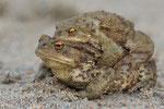 Erdkrötenpärchen (Bufo bufo), März 2014 MV/GER, Bild 4
