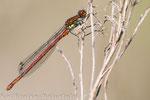 Frühe Adonislibelle (Pyrrhosoma nymphula), Mai 2015 MV/GER, Bild 1