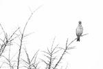 Karmingimpel männl. (Carpodacus erythrinus), Juni 2019 MV/GER, Bild 13