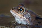 Grasfrosch Portrait (Rana temporaria), April 2015 MV/GER, Bild 1
