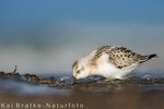 Sanderling 1. KJ (Calidris alba), Sept 2017 MV/GER, Bild 38