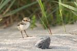 Sandregenpfeifer Pullus (Charadrius hiaticula), Juli 2014 MV/GER, Bild 6