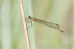 Gemeine Binsenjungfer weibl. mit untypischer Flügelstellung (Lestes sponsa), Juli 2014 MV/GER, Bild 2