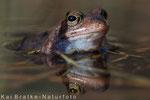 Moor- oder Grasfrosch männl. zu Beginn der Laichzeit, April 2015 MV/GER, Bild 1