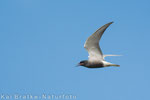 Trauerseeschwalbe PK (Chlidonias niger), Juni 2014 MV/GER, Bild 1