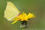 Zitronenfalter (Gonepteryx rhamni), April 2014 Nds/GER, Bild 1