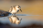 Sanderling (Calidris alba), Aug 2020 MV/GER, Bild 72