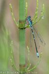 Fledermaus-Azurjungfer männl. (Coenagrion pulchellum), Juni 2014 MV/GER, Bild 2