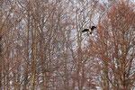 Kormoran (Phalacrocorax carbo), März 2021 MV/GER, Bild 5