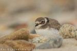 Sandregenpfeifer ca. 4 Wochen alt (Charadrius hiaticula), Juli 2014 MV/GER, Bild 10