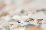 Sandregenpfeifer Pullus (Charadrius hiaticula), Aug 2018 MV/GER, Bild 73