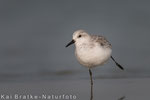 Sanderling SK (Calidris alba), Nov 2014 MV/GER, Bild 1