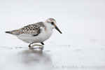 Sanderling 1. KJ (Calidris alba), Sept 2017 MV/GER, Bild 41