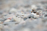 Sandregenpfeifer weibl. PK (Charadrius hiaticula), Mai 2016 MV/GER, Bild 25