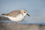 Sanderlinge SK (Calidris alba), Jan 2016 MV/GER, Bild 16