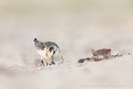 Sanderling (Calidris alba), Sept 2019 MV/GER, Bild 47