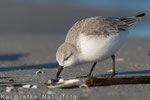 Sanderling SK (Calidris alba), Jan 2015 MV/GER, Bild 11