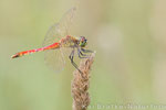 Sumpf-Heidelibelle männl. (Sympetrum depressiusculum), Aug 2014 Nds/GER, Bild 1
