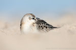 Sanderling (Calidris alba), Sept 2020 MV/GER, Bild 76