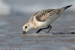 Sanderling 1. KJ (Calidris alba), Sept 2015 MV/GER, Bild 14