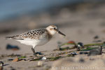 Sanderling 1. KJ (Calidris alba), Sept 2014 MV/GER, Bild 6