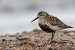 Alpenstrandläufer im PK (Calidris alpina),  Juli 2015 MV/GER, Bild 8