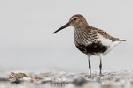 Alpenstrandläufer im PK (Calidris alpina),  Juli 2015 MV/GER, Bild 14