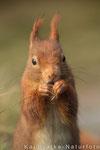 Eichhörnchen (Sciurus vulgaris), Dez 2013 Nds/GER, Bild 1