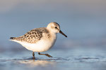 Sanderling (Calidris alba), Sept 2019 MV/GER, Bild 53
