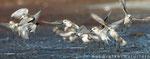 Sanderlinge 1. KJ (Calidris alba), Aug 2015 MV/GER, Bild 15