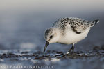 Sanderling 1. KJ (Calidris alba), Sept 2017 MV/GER, Bild 42