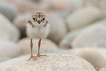 Sandregenpfeifer Pullus (Charadrius hiaticula), Juni 2015 MV/GER, Bild 12