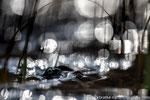 Grasfrosch (Rana temporaria), April 2019 MV/GER, Bild 13