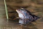 Moorfrosch männl. (Rana arvalis), April 2015 MV/GER, Bild 4