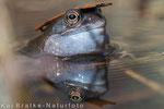 Brett vorm Kopf - Grasfrosch (Rana temporaria), April 2015 MV/GER, Bild 3