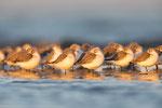 Sanderlinge (Calidris alba), Dez 2020 MV/GER, Bild 67
