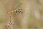 Sumpf-Heidelibelle weibl. (Sympetrum depressiusculum), Aug 2014 Nds/GER, Bild 3